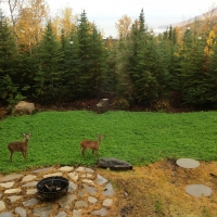 Yard with deers during fall, Charlevoix
